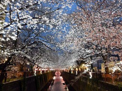 中目黒川夜桜