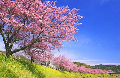 静岡 河津桜並木