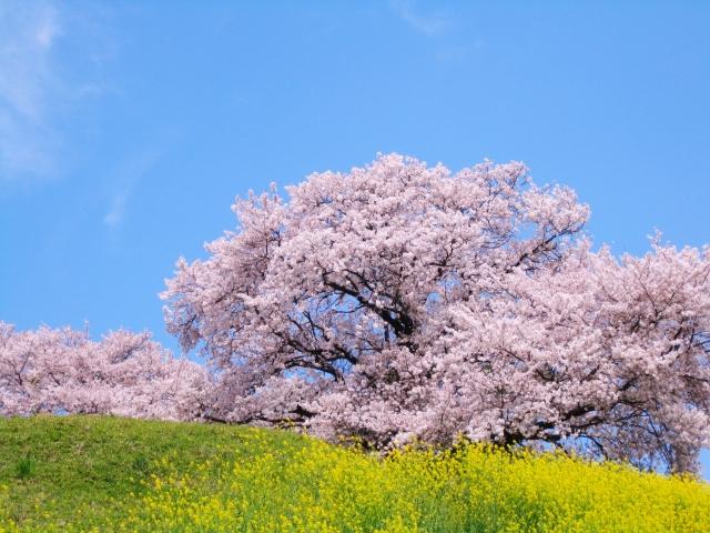 スマホで桜の撮り方