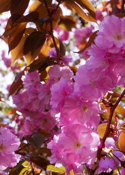 桜の逆光の撮影