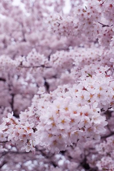 桜の撮影テクニック満開感を出す