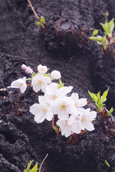 桜アップ撮影
