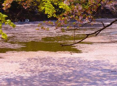 水に散った桜の花びら