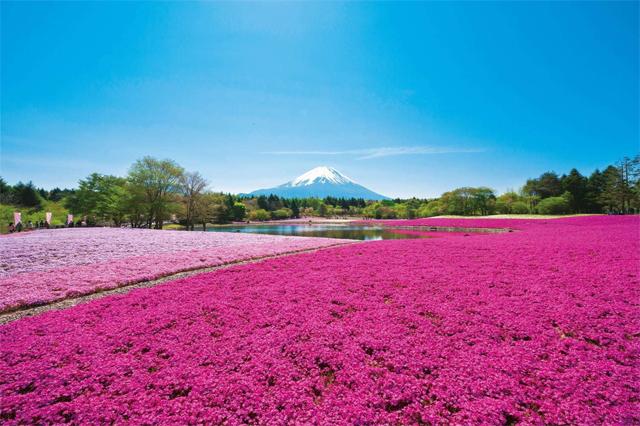 富士芝桜の見頃